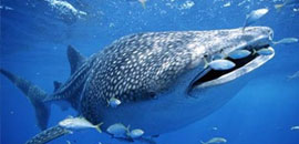 Save the whale shark project