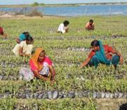 Regeneration of mangroves
