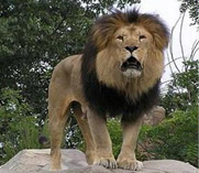 Save the Asiatic lion project
